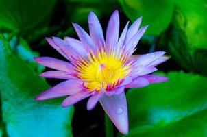 den vackra lila lotusblommafeen