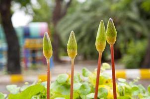 närbild av ung lotus