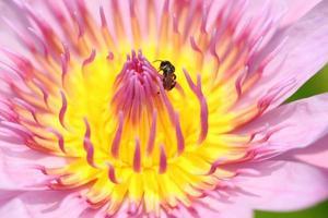 rosa makroblad av lotus.