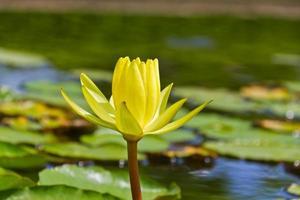 gul lotusblomma