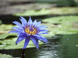 blå-gul lotusblomma blommar som oljefärg.