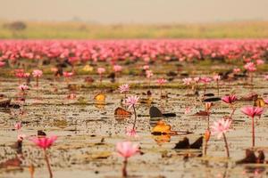 röd lotusblomma i dammen vid kumphawapi, udonthani, thailand
