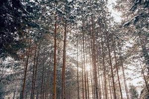 solstråle genom tallskog foto