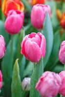 färgglada tulpaner i trädgården foto