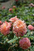 färgrik ros i trädgården foto