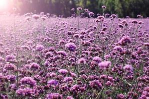 fält av lila färgade blommor, verbena bonariensis foto