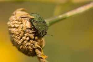 vanlig grön sköldpadd under ett blomhuvud.