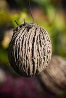 othalanga - självmordsträd, pongfrö för trädgårdsdekoration