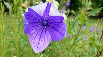 platycodon grandiflorus blå blomning foto