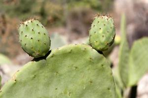kaktusfrukt - jerusalem foto