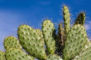 kaktus, nopal foto