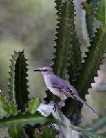 karibisk mockingbird
