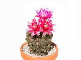 kaktus gymnocalycium baldianum i kruka, isolerad, bakgrundsvitt foto