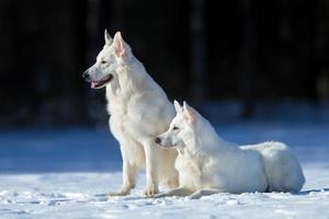 två vita hundar på vinterbakgrund foto