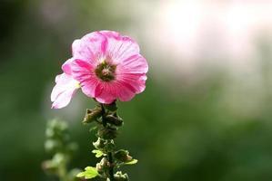 skönhet rosa hollyhock blomma i trädgården