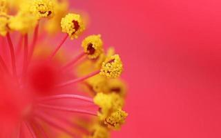 pollenkorn av skoblomma foto