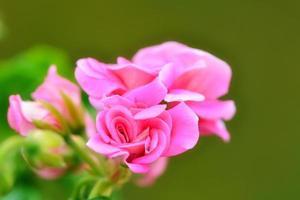 närbild rosa pelargoner i hemträdgården