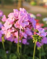pelargonblommor i trädgården foto
