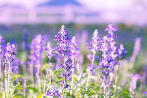 violetta lavendelblommor i trädgården
