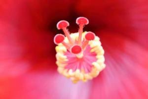 närbild av pistil, röd hibiskus, makro, mitt. levande färger foto