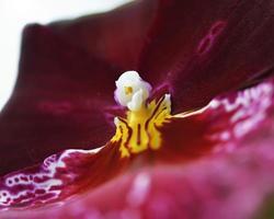 röd orkidé foto