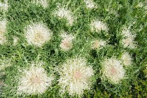 långlivad kålgrönsakbakgrund