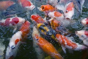 skola av koi fisk foto