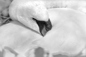 svartvitt svan i boet
