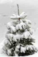 liten gran täckt av snö