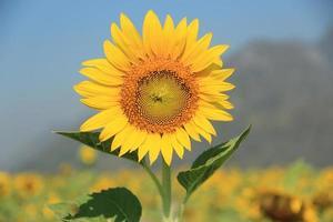 vacker solros