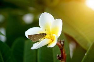 frangipani blomma på morgonen. foto