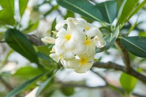 gul plumeria blomma