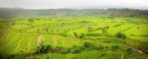 risfält i Bali foto