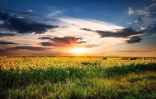 fält av solrosor foto