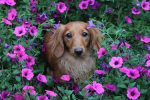 hund i blommor foto