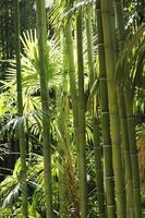 bambous bambouseraie