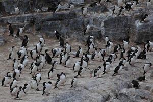 kormorane auf feuerland foto