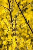 gula vårblommor på grönt