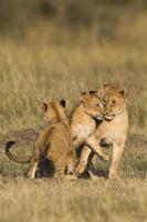 afrikanska lejonungar foto