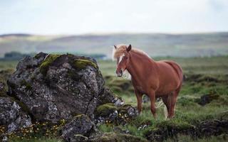 isländsk häst foto