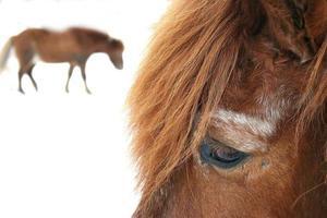 häst6