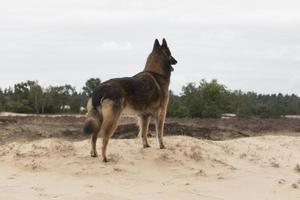 hund, belgisk herde tervuren, tittar ut över sanddynerna foto