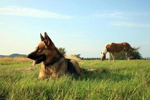 hund - alsatisk foto