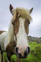 isländsk häst