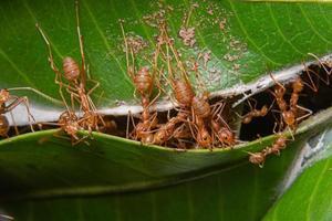 röda myror på ett blad, makro foto