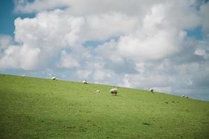 vita får på ett grönt fält foto