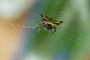 horned spindel (gasteracantha doriae) i sin web