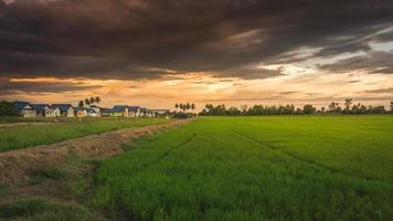 risfält nära en gemenskap i Thailand
