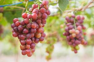 gren av druvor på vinrankan i vingården