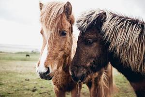 isländska hästar foto